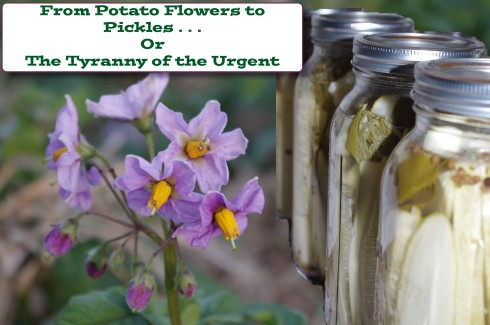 From Potato Flowers to Pickles LifeMoreAbundant.me